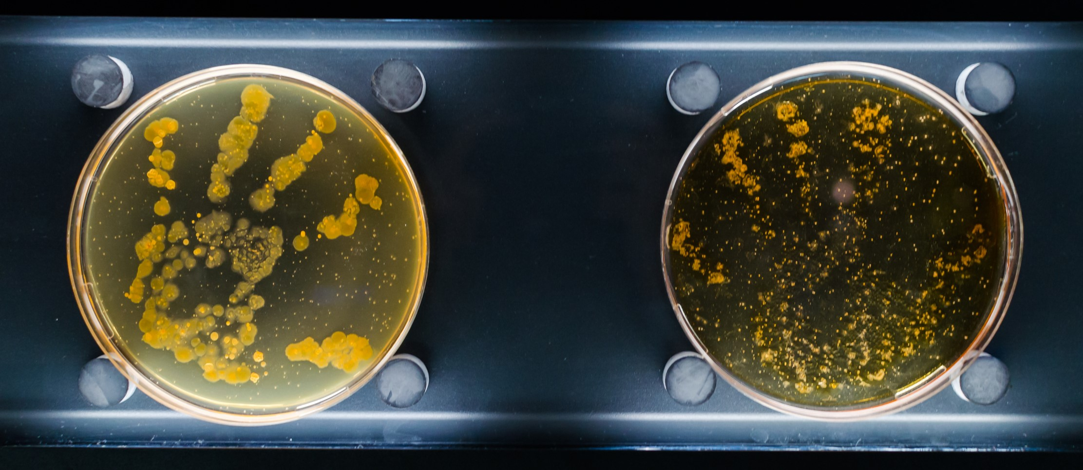 Unwashed and washed hand bacterias in petri dish.